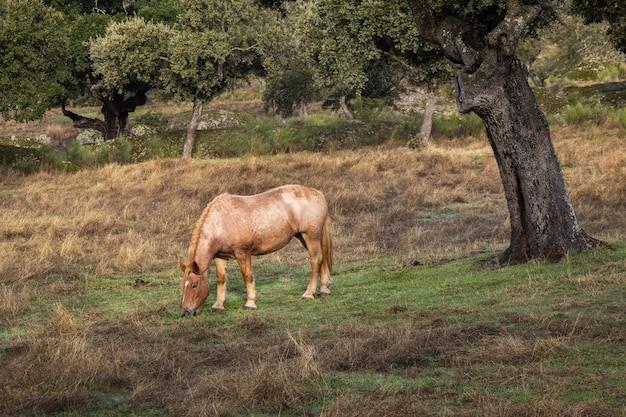 Pferd, das auf dem feld weidet.