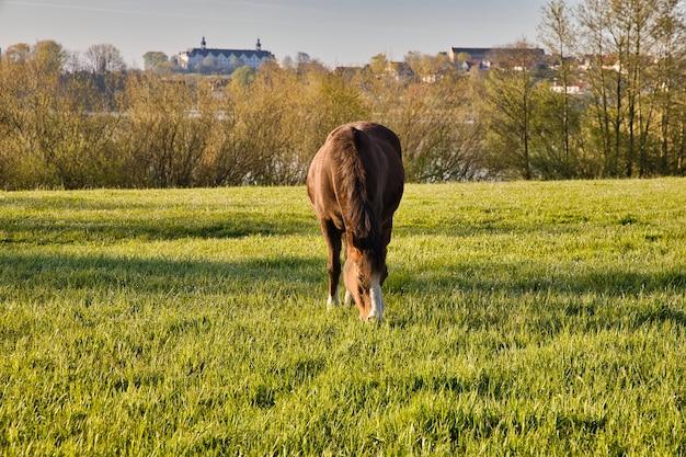 Pferd, das auf der grünen wiese mit der plon-burg in deutschland weidet