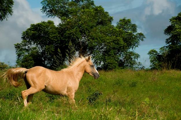 Pferd, das auf einem gebiet, santa cruz island, galapagos-inseln, ecuador läuft