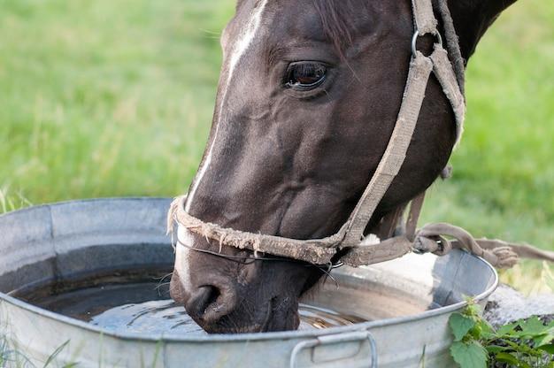 Pferd, das aus einem wassertrog trinkt