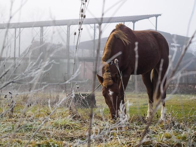 Pferd, das gras an einem kalten und nebligen morgen frisst