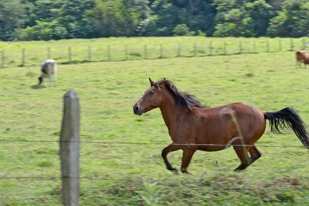 Pferd galoppiert auf der grünen wiese