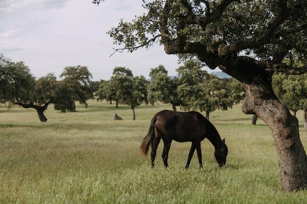 Pferd grasen auf einer wiese mit steineichen