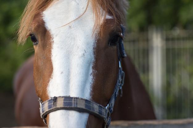 Pferd hannoveraner rotbraune farbe mit weißer streifenlinie