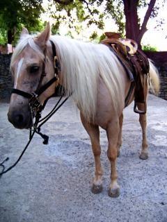 Pferd, häusliche