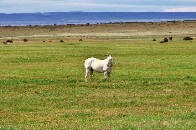 Pferd im feld von patagonien, chile