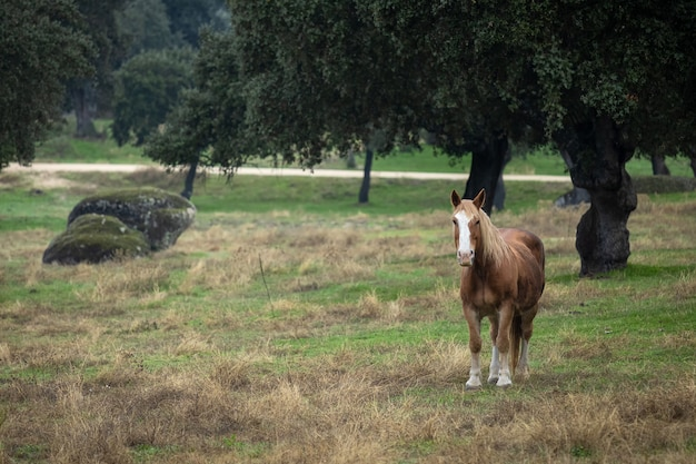 Pferd in dehesa de la luz. extremadura.