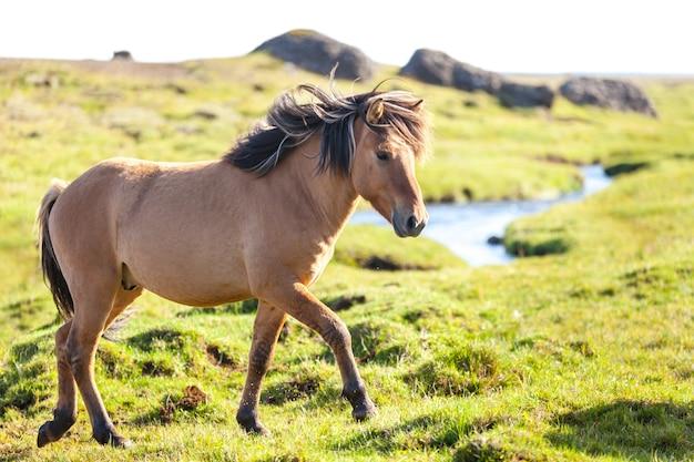 Pferd in einem grünen grasfeld an der ländlichen landschaft islands