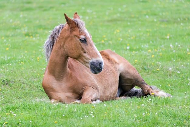 Pferd liegend auf der wiese