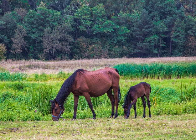 Pferd mit einem fohlen auf der wiese