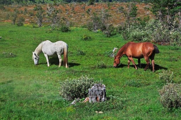 Pferde auf dem parque nacional feuerland, ushuaia, argentinien