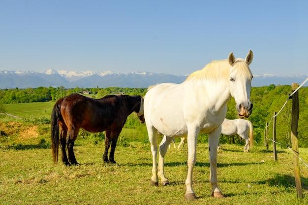 Pferde auf der wiese, pyrenäen im hintergrund