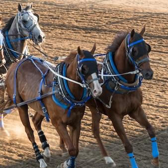 Pferde chuckwagon, das am jährlichen calgary ansturm, calgary, alberta, kanada läuft