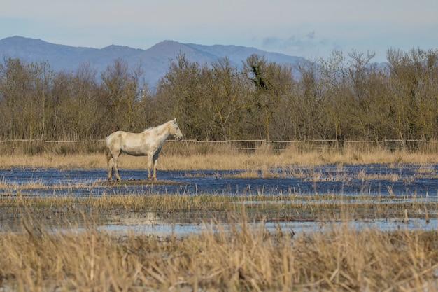 Pferde der camargue im naturpark