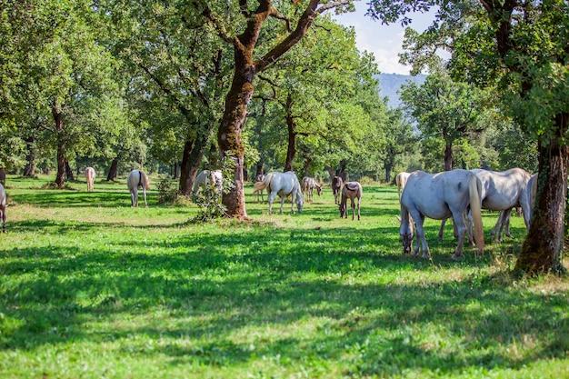 Pferde, die im sonnigen feld in lipica, nationalpark in slowenien grasen