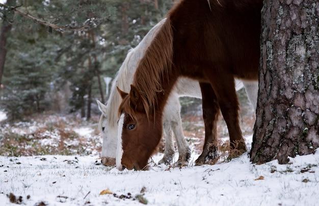 Pferde fressen gras im schnee