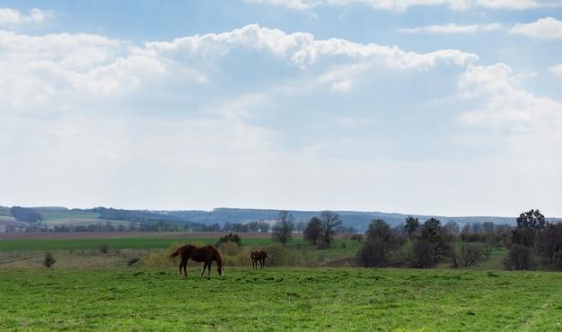 Pferde grasen auf der wiese, felder und wiesen, landschaft