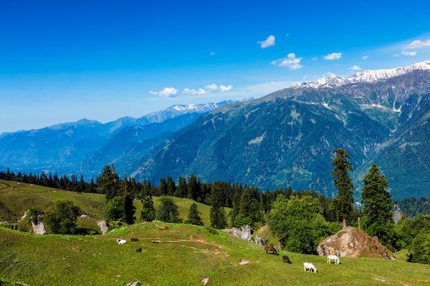 Pferde in bergen. himachal pradesh, indien