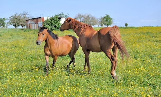 Pferde in blumenwiese