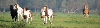Pferde in den niederlanden, schwarz