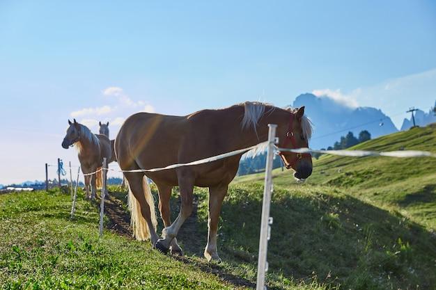 Pferde in der dolomit-hochebene