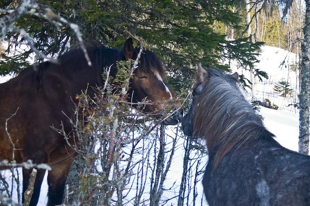 Pferde in norwegen bauernhof schnee