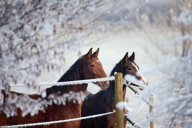 Pferde, umgeben von schneebedeckten bäumen