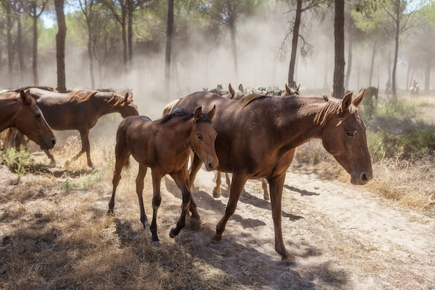 Pferdebaby und seine mutter galoppieren im wald. stacey auf der sandigen straße.