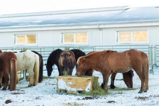 Pferdefarm in island im winter.