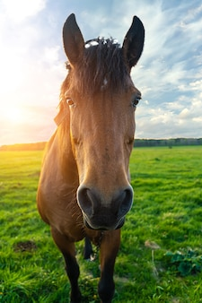 Pferdekopf nah oben bei sonnenuntergang gegen einen blauen himmel
