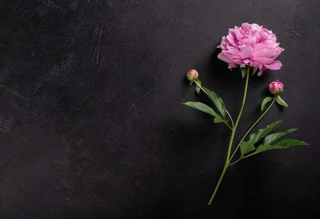 Pfingstrosenblume auf einem schwarzen hintergrund