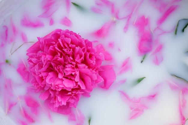 Pfingstrosenblume mit blütenblättern in einem milchbad.