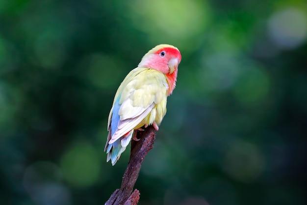 Pfirsich-gesichtiger lovebird rosy-faced agapornis roseicollis schöne vögel von thailand