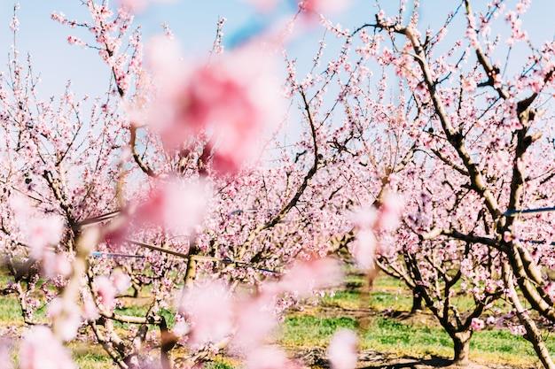 Pfirsichbäume in voller blüte