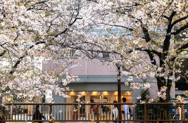 Pfirsichbaumblüte in japan