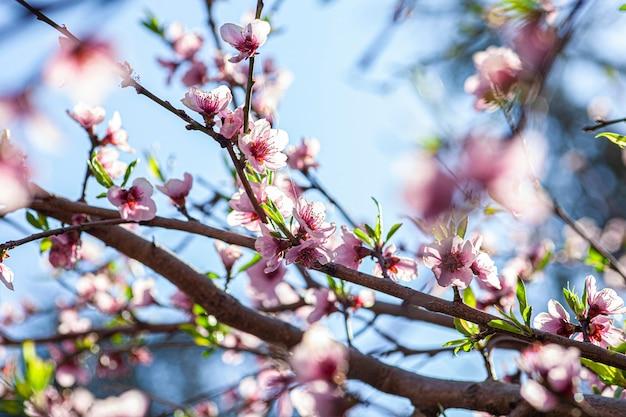 Pfirsichblüte im frühjahr, aufnahme mit makroobjektiv