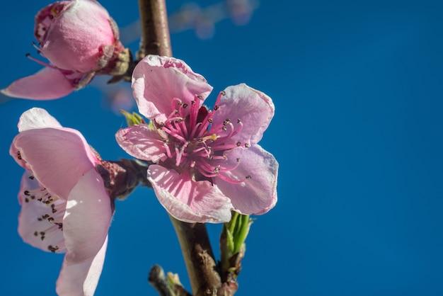Pfirsichblumen blühender zweig nahaufnahme