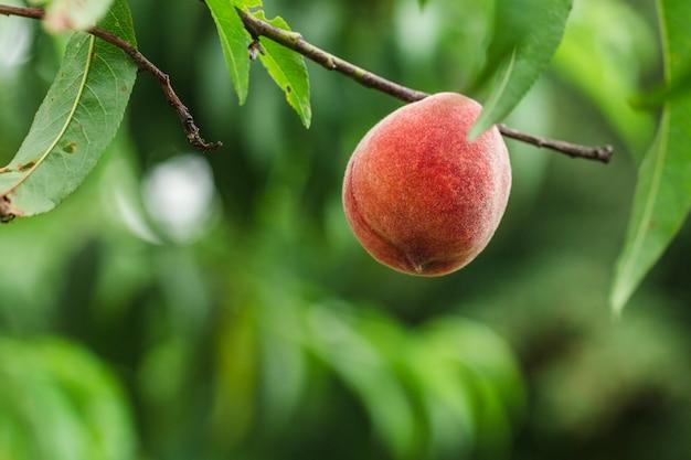 Pfirsiche auf einem ast
