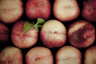 Pfirsiche ernten