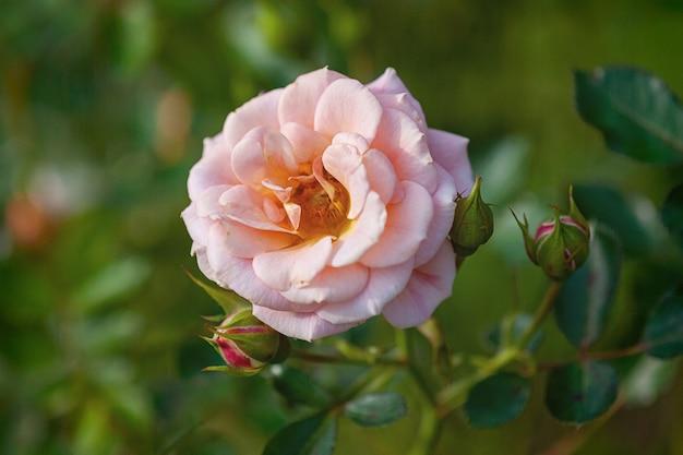 Pfirsichrosa rose blüht im landhausgarten (absent friends, dickson)