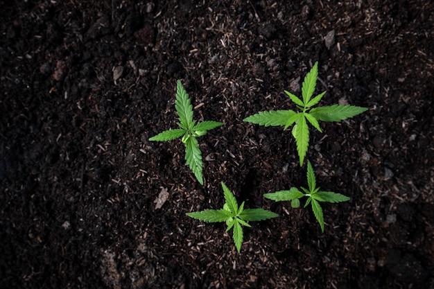 Pflanze eines kleinen cannabis-sämlings im boden