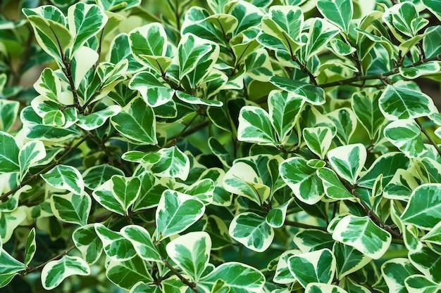 Pflanze ficus deltoidea.