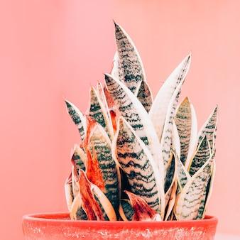 Pflanzen auf rosa konzept. aloe. pflanzenliebhaber kunst