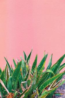 Pflanzen auf rosa kreativem konzept. pflanzenliebhaber. minimal kanarische insel