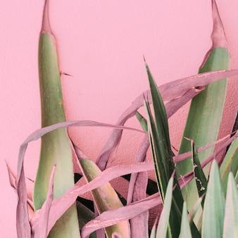 Pflanzen auf rosa modekonzept. aloe auf rosa hintergrundwand
