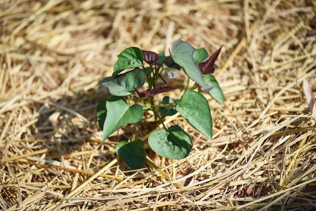 Pflanzen der süßpflanze der jamswurzelkartoffel auf trockenem stroh - purpurrote jamswurzelanlage in der bauernhofplantage
