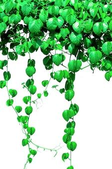 Pflanzen efeu, wilde kletterrebe auf elektrischem draht auf weißem hintergrund,