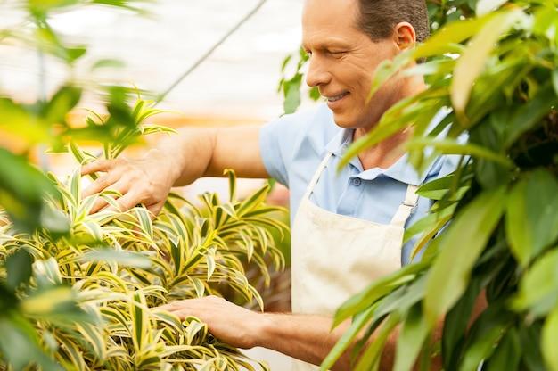 Pflanzen gut pflegen. schöner reifer mann in schürze, der sich um pflanzen kümmert