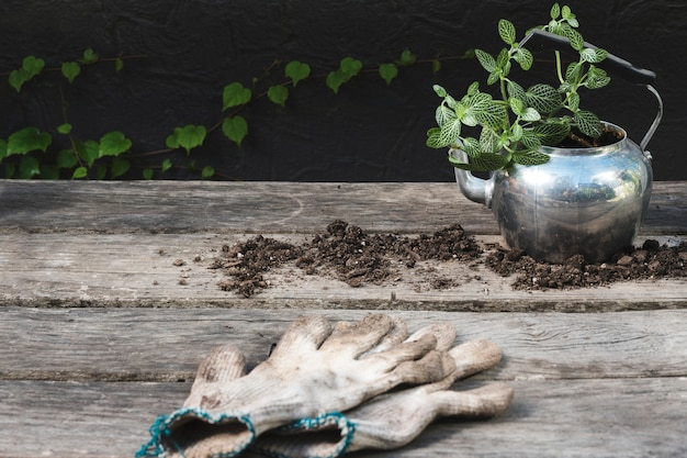 Pflanzen sie in teekanne mit handschuhen