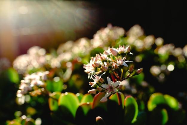 Pflanzen sie mit den weißen blumen, die im frühjahr in voller blüte von hinten beleuchtet werden.